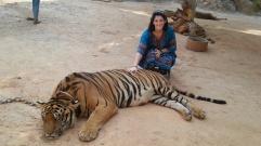 sedated-tiger