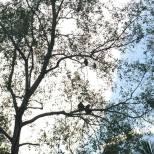Bonobo Monkeys